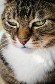 Portrait   Of Domestic Tabby Cat Close Up poster