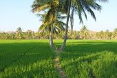 Beautiful Green Rice Fields In Hampi, India. Palm Trees, Sun And Rice Fields. Exotic Tropical Landsc poster