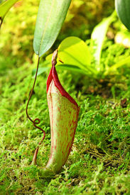 picture of nepenthes-mirabilis  - Pitcher plant - JPG