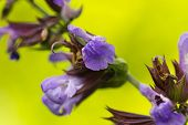 foto of borage  - Borago officinalis is a great medicinal plant that is commonly known as borage plant or borage herb or borage seed oil - JPG