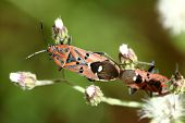 picture of coitus  - Close up of shield bugs mating on green leaf - JPG