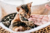Young Bengal cat sniffing a woman hand while resting on cat tree at home. Purebred poster