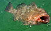 picture of grouper  - Red grouper being hooked in Atlantic Ocean while sport fishing