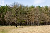 Meadow And Pine Forest