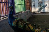 Peacock In A Zoo Cage.peacock In A Zoo Cage poster