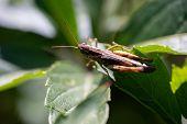 Grasshopper Sits On A Green Leaf, Macro Photo.grasshopper Sits On A Green Leaf, Macro Photo poster