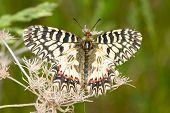 an adult of Soutern festoon butterfly resting - seen ventraly / Zerynthia polixena