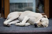 picture of stray dog  - A stray dog lying on the steps - JPG
