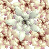 Echinopsis Cactus Flowers Background