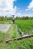 Rice Farming In Bali