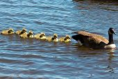 image of mother goose  - Canadian goose swimming with thier goslings in the Ottawa river - JPG