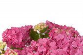 hydrangea flowers (zoom)