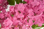 hydrangea flowers (close-up view)