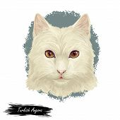 Turkish Angora Kitten Breed Of Domestic Cat. White White Turkish Angora Cat Isolated Domestic Animal poster