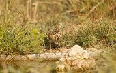 foto of meadowlark  - Lark common drinking water in a meadow - JPG