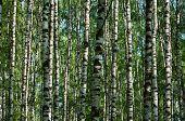 Background Of White, Sunlit, Birch Trunks