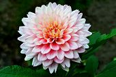 Beautiful Pink Blooming Dahlia With Green Background. Pink Dahlia Is Genus Of Flowering Pink Dahlia  poster