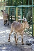 Maned Ram.  Pair Of Maned Sheep In A Zoo poster