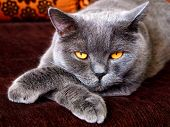 Angry Evil Cat Looks Sneaky Puts Paw On Paw. Sneaky Cat With Bad Yellow Eyes Laying Like Boss. Angry poster