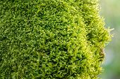 Soft Thick Moss In The Forest Is Lit By The Sun. Soft Moss Carpet. Detailed Image Of Moss. Backgroun poster