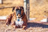 Pedigreed Boxer Laying In The Back Yard In Autumn. poster