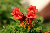 Bee Flying Over Trumpet Vine Or Campsis Radicans Or Trumpet Creeper Or Cow Itch Vine Or Hummingbird  poster