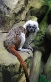 The Cottontop Tamarin (saguinus Oedipus) Also Known As The Pinche Tamarin poster