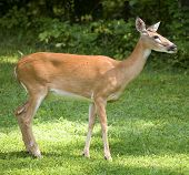 foto of gnat  - Whitetail doe with a flock of gnats behind its head - JPG