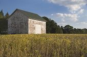 Old Barn In Soybean Field
