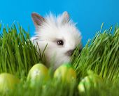 image of chucky  - Downy white rabbit is in the thick green grass near the Easter eggs - JPG
