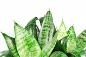stock photo of sansevieria  - green sansevieria hahnii isolated on white background - JPG