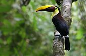 Chestnut-mandibled Toucan at  Carara, Costa Rica
