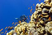coral reef with porites corals exotic fishes anthias and girl diver at the bottom of tropical sea