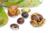 Wild Chestnut Or Horse Chestnut