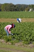 Strawberry Pickers Women Laborer