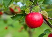 Red apple growing on tree. Shallow DOF