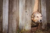 picture of pity  - Dog Peeking Through Old Wood Fence - JPG
