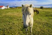 weiße isländischen pony