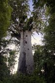 Tane Mahuta ,Kauri tree, Northland New Zealand.