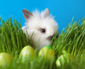 picture of chucky  - Downy white rabbit is in the thick green grass near the Easter eggs - JPG