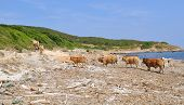 Herd Of Cows On A Beach