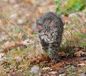 image of bobcat  - Bobcat  - JPG