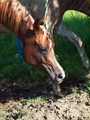 stock photo of fillies  - arabian filly in the paddock - JPG