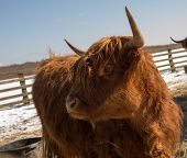 picture of highland-cattle  - Red highland cattle found in a paddock on a spring day - JPG