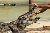Show Of Crocodiles/hand Into The Jaws Of A Crocodile