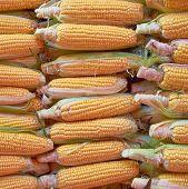 fresh corn for sale