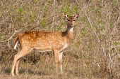 Chital Doe Portrait