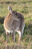 Young Reedbuck Antelope