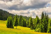 foto of coniferous forest  - coniferous forest on a steep mountain slope - JPG
