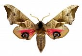 Eyed Hawk-moth (Smerinthus ocellatus)